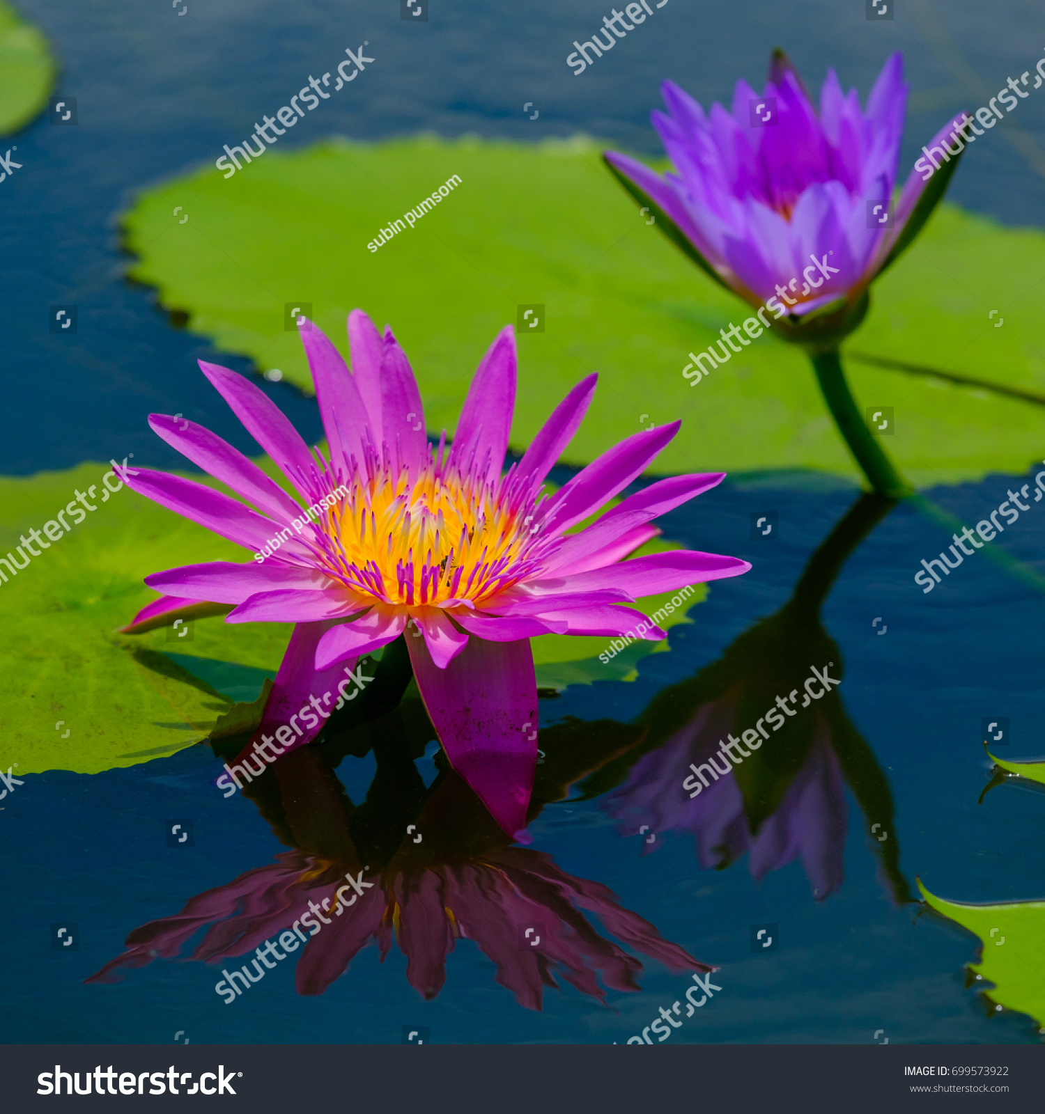This Beautiful Waterlily Lotus Flower Complimented Stock Photo (Edit ...