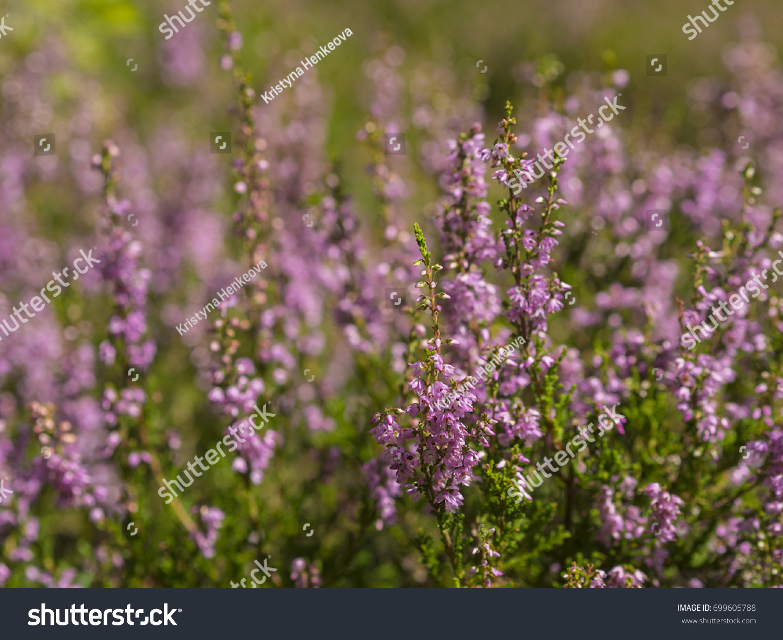 Plant Heather Ez Canvas