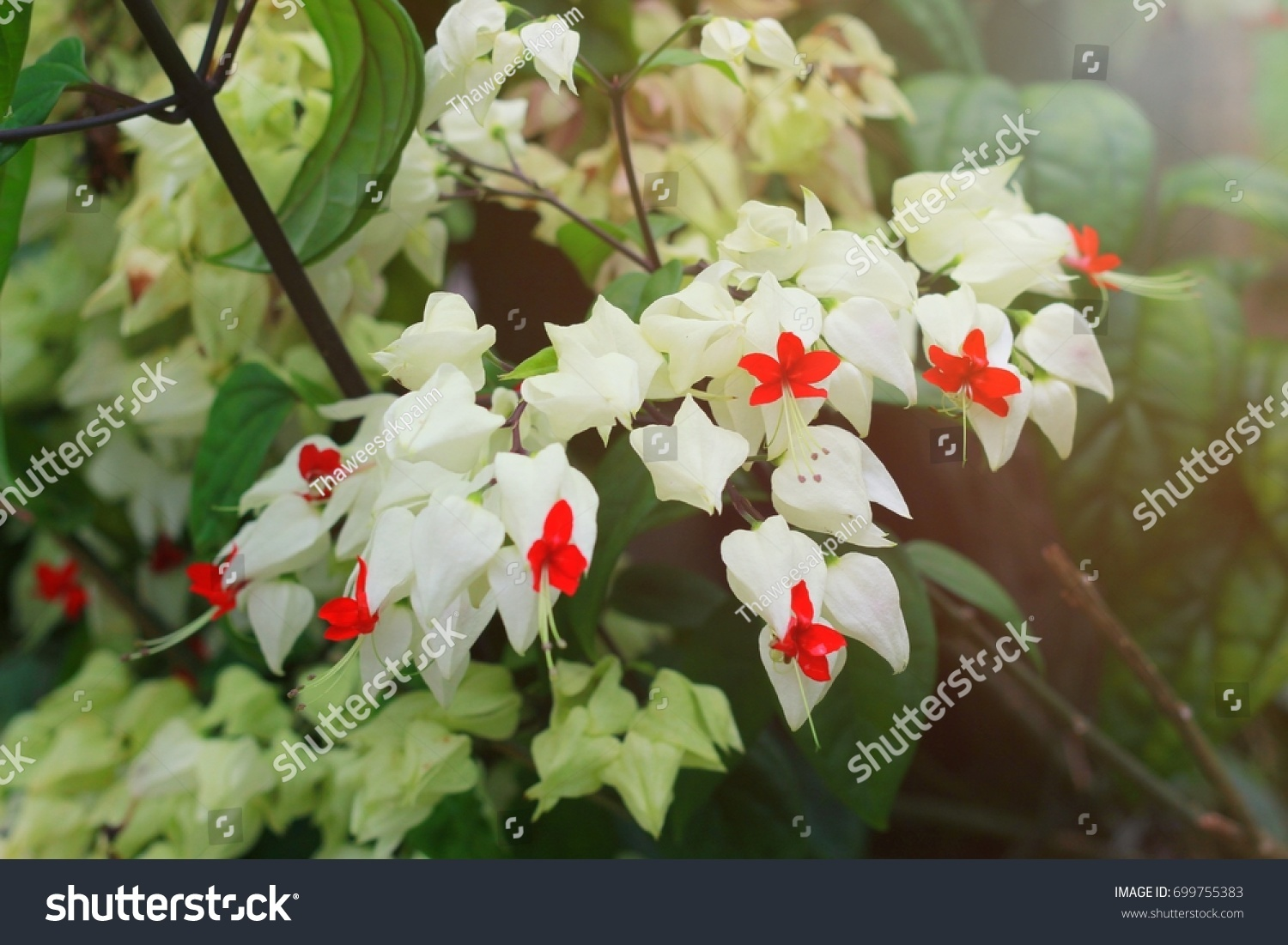 White bleeding heart flower stock photo royalty free 699755383 white bleeding heart flower izmirmasajfo