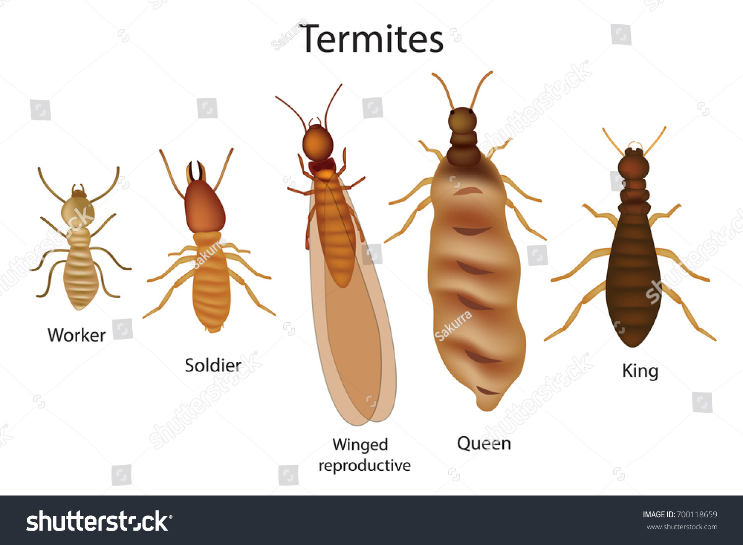 Caste System Termites Stock Vector (Royalty Free) 700118659 ...