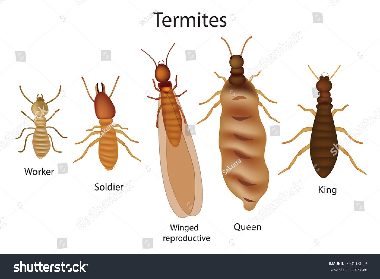 Caste System Termites Stock Vector 700118659 - Shutterstock