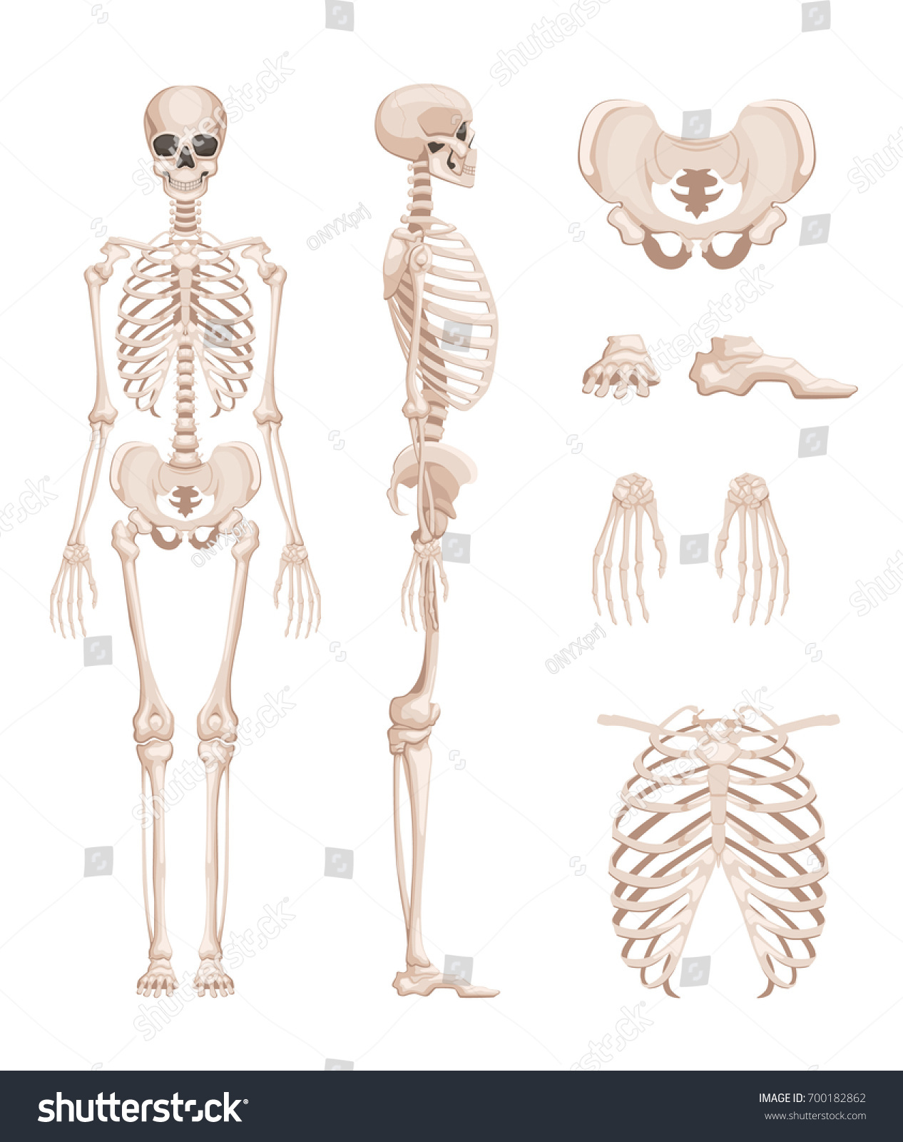 Vector Illustration Human Skeleton Different Sides Stock Vector