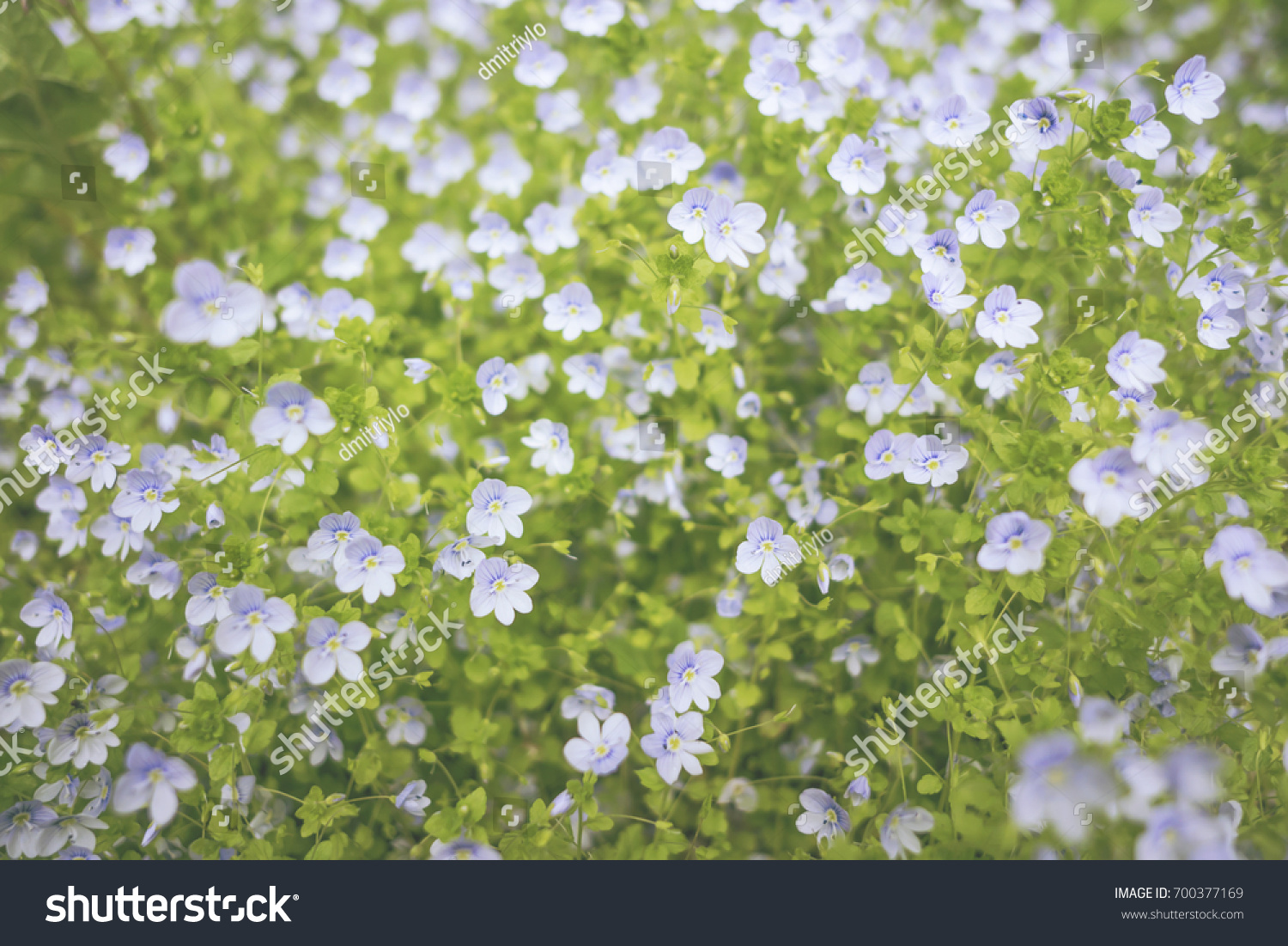 Beautiful Small Blue White Flowers Spring Stock Photo Edit Now