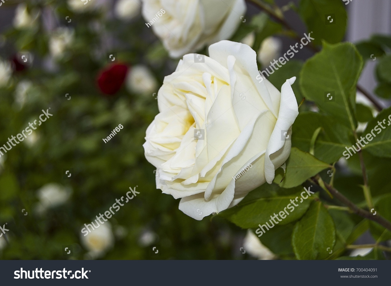 Roses love symbol roses white roses stock photo 700404091 shutterstock roses love symbol roses white roses for lovers day natural roses in the buycottarizona Choice Image