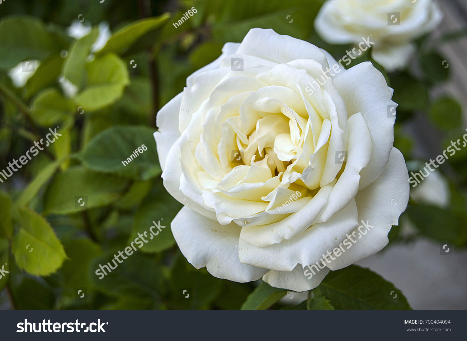 Roses love symbol roses white roses stock photo 700404094 shutterstock roses love symbol roses white roses for lovers day natural roses in the buycottarizona Choice Image