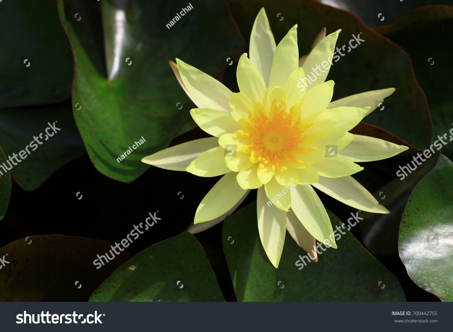 Beautiful Yellow Lotus Flower Or Water Lily Flower Ez Canvas
