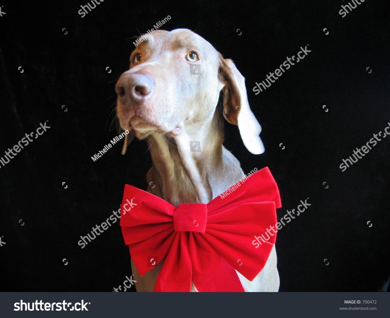 Weimaraner Dog Christmas Holiday Red Bow Stock Photo (Edit Now ...