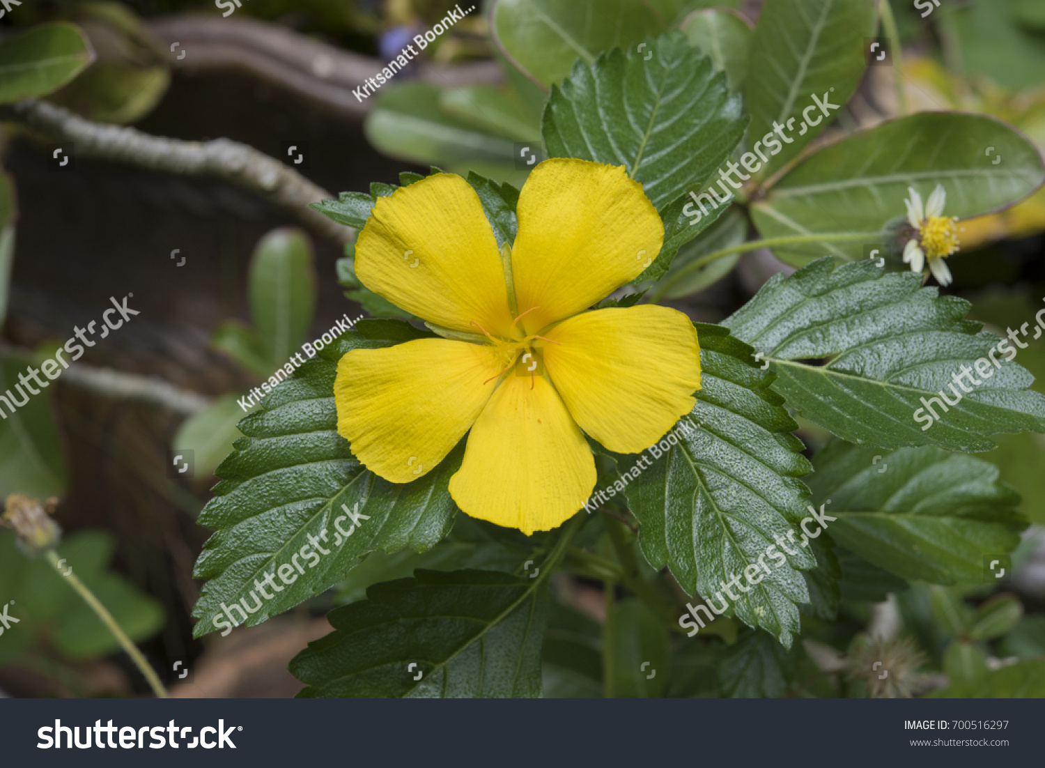 Yellow Flower Five Big Bloom Petals Stock Photo Royalty Free