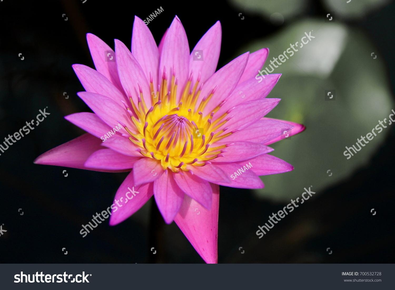 Purple lotus flower meaning gallery flower wallpaper hd purple lotus flower meaning choice image flower wallpaper hd purple lotus flower symbolism gallery flower decoration mightylinksfo