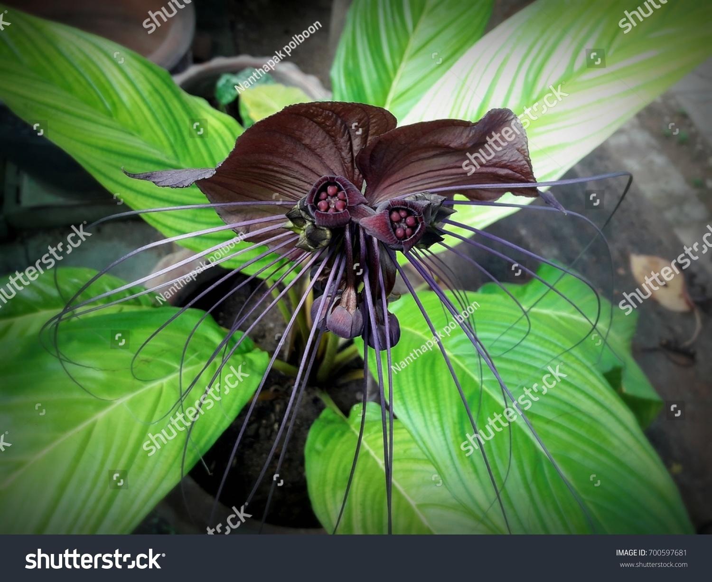 Bat flower black lily stock photo edit now 700597681 shutterstock bat flower black lily izmirmasajfo