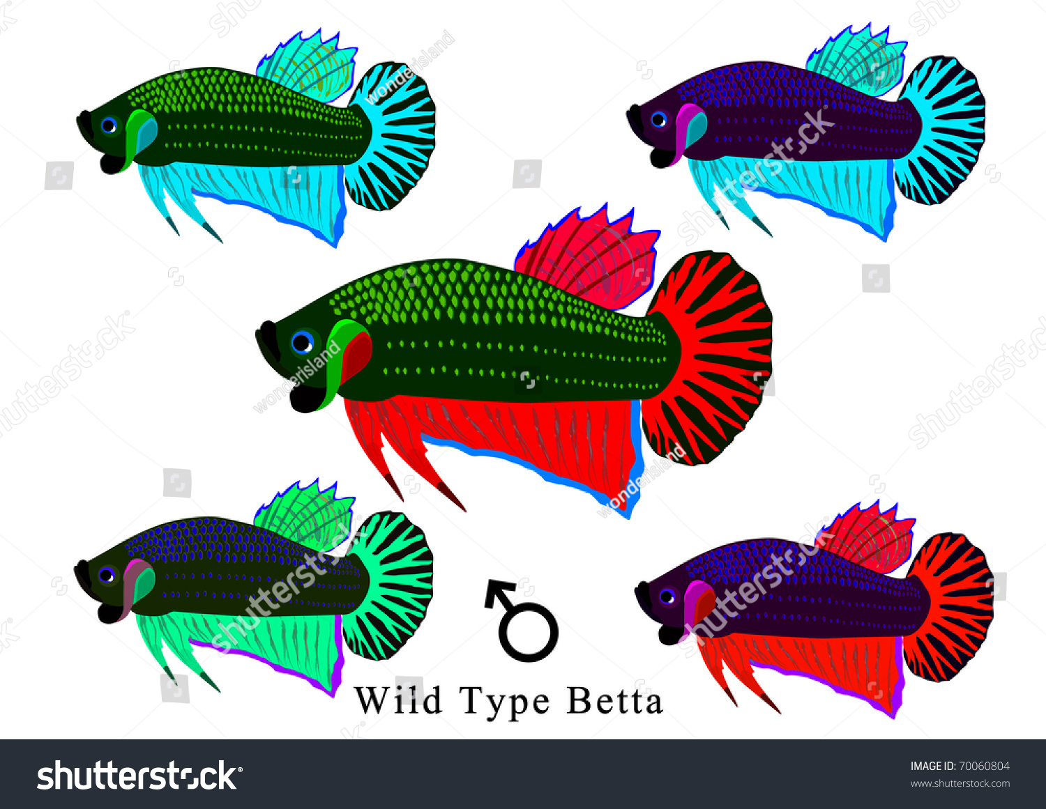 Wild Type Betta Stock Illustration 70060804 - Shutterstock