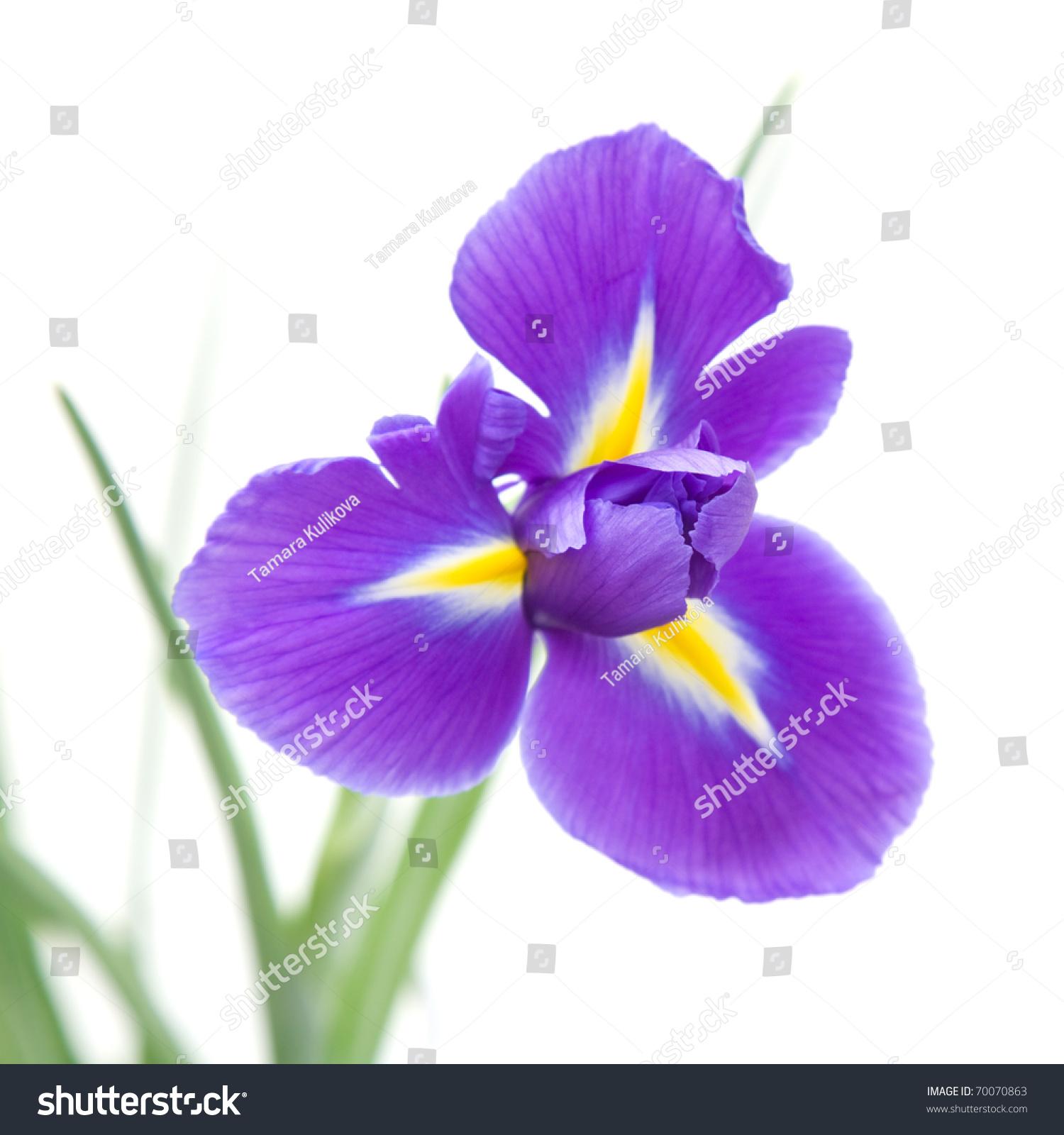 Royalty free beautiful dark purple iris flower 70070863 stock beautiful dark purple iris flower isolated on white background 70070863 izmirmasajfo