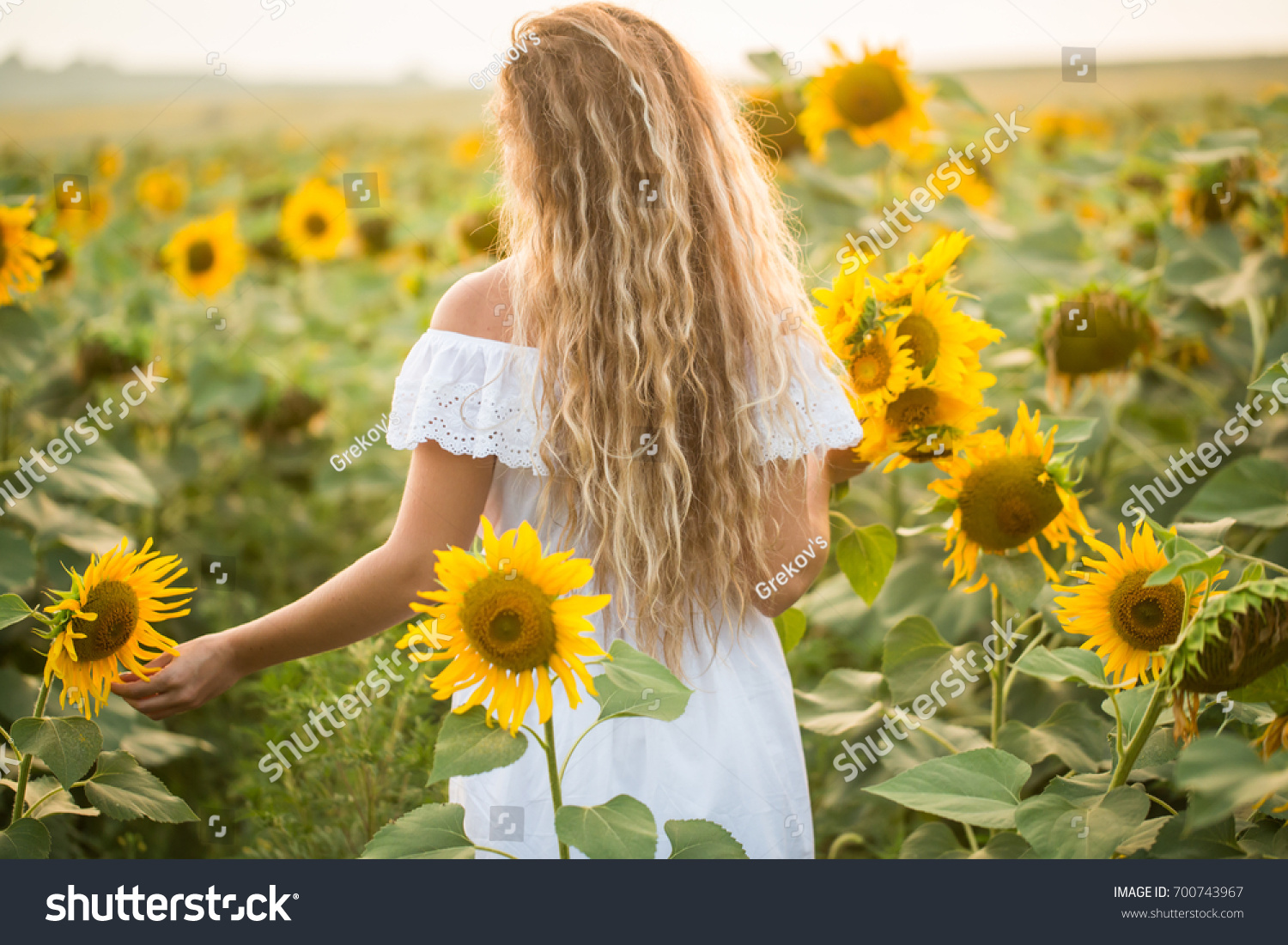 Young Woman In A Field Of Sunflowers Sunset Light The