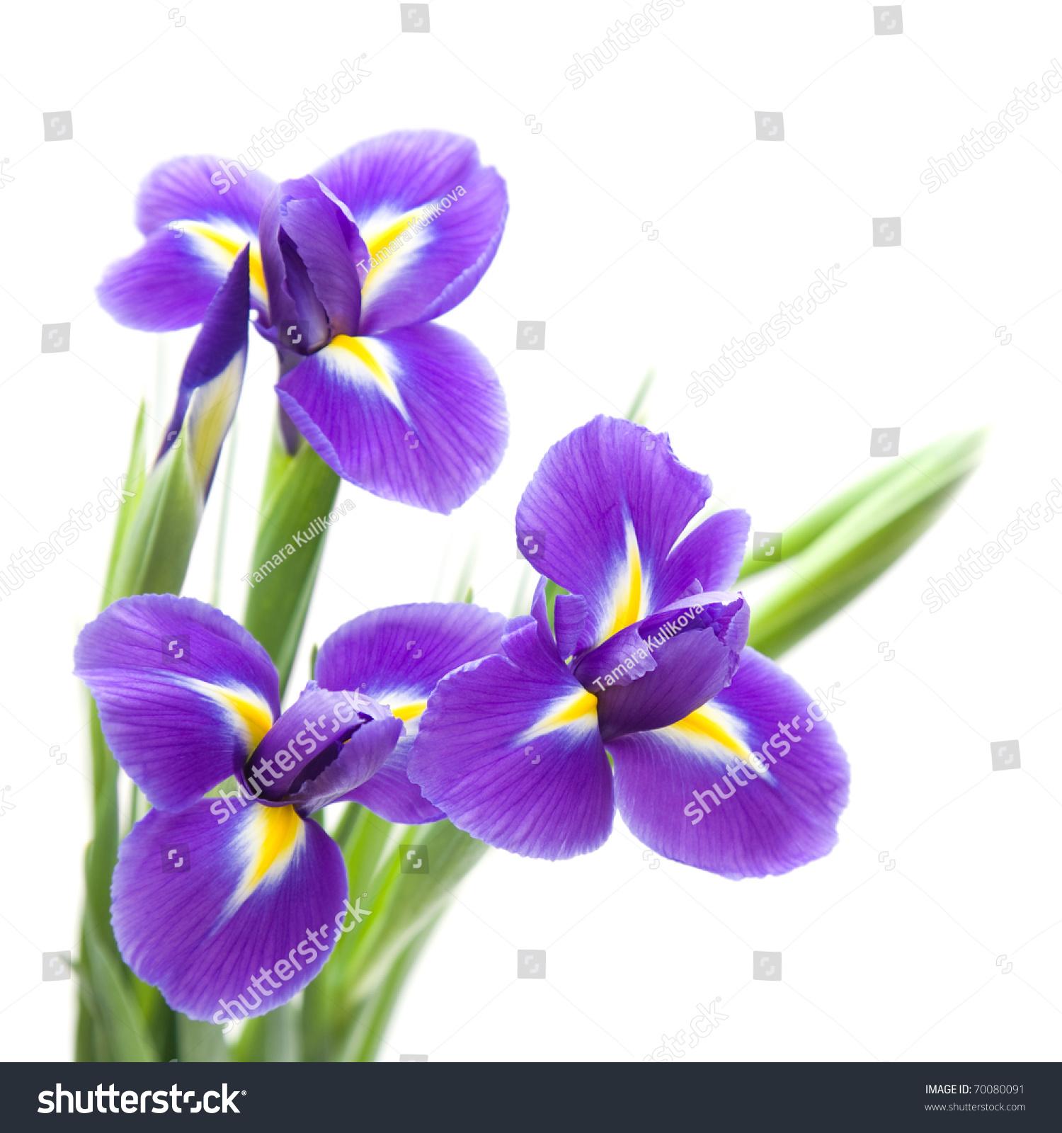 Beautiful dark purple iris flower isolated stock photo 70080091 beautiful dark purple iris flower isolated on white background biocorpaavc