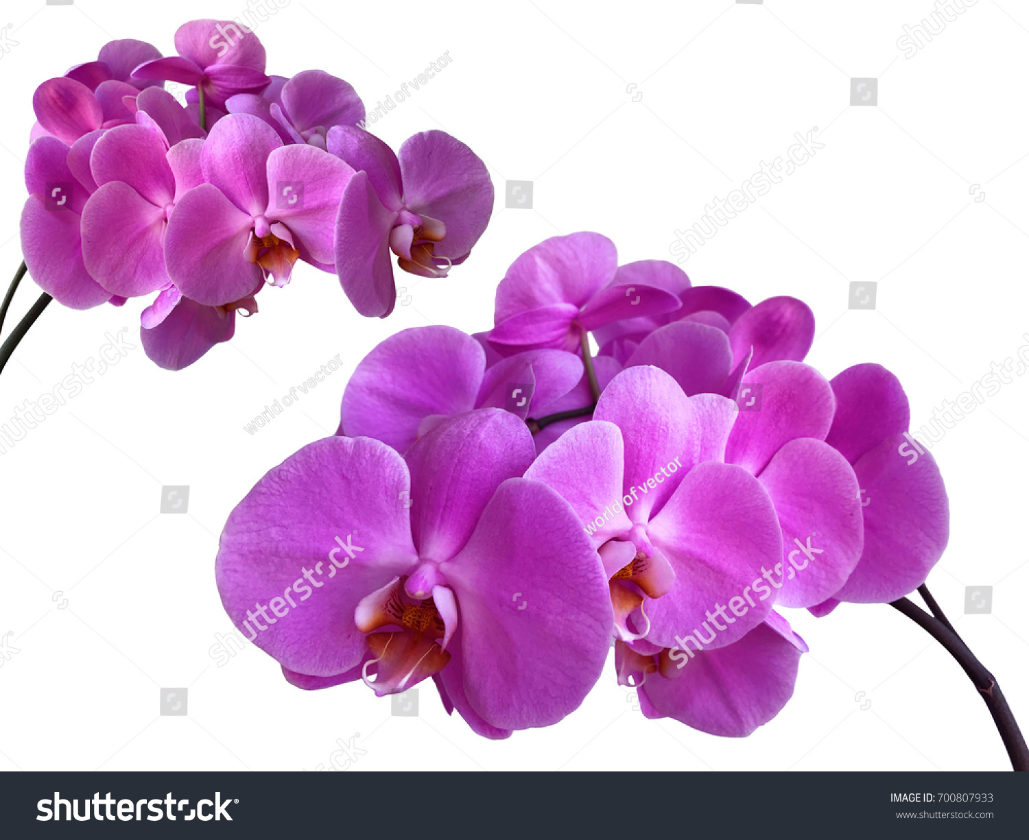 Two Purple Orchid Flower Branch Set Isolated On White Background