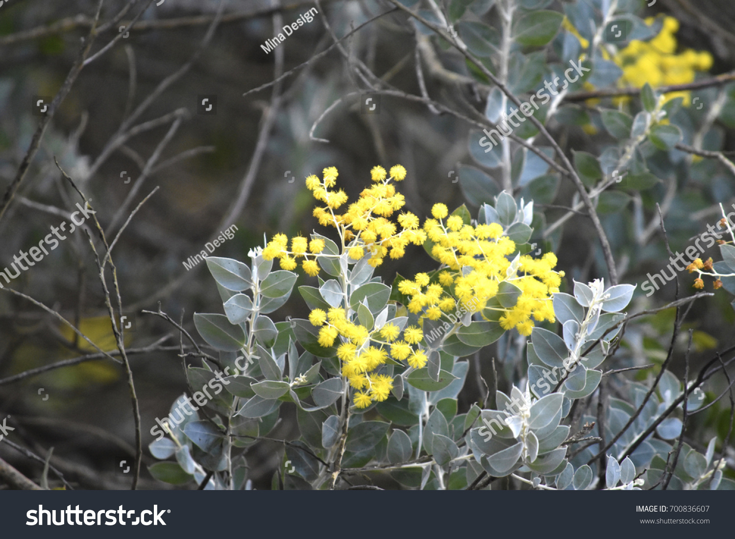 Silver Wattle Acacia Podalyriifolia Known Mount Stock Photo Edit