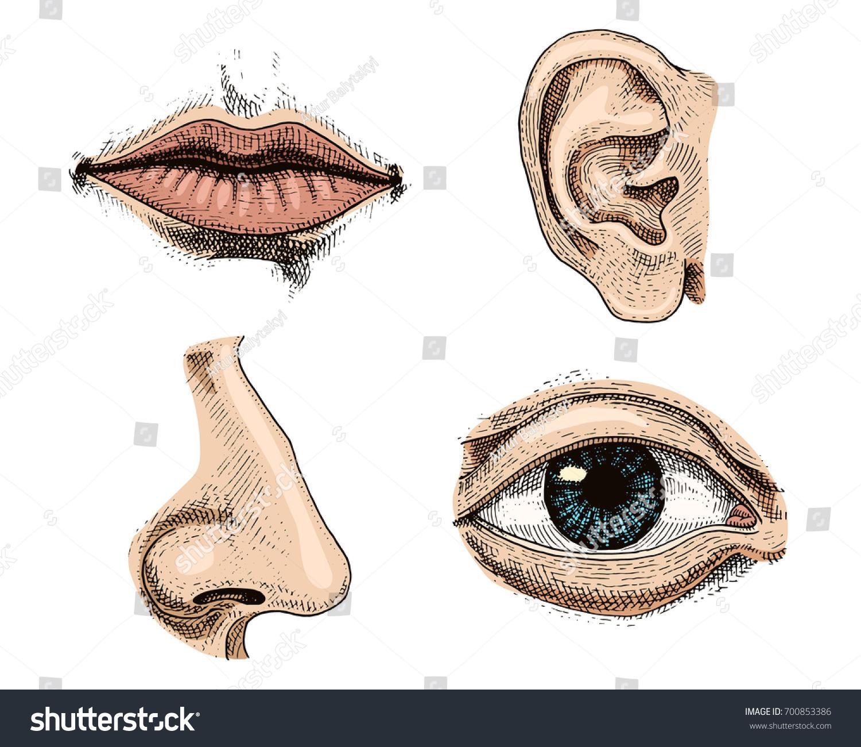 Human Biology Organs Anatomy Illustration Engraved Stock Vector ...