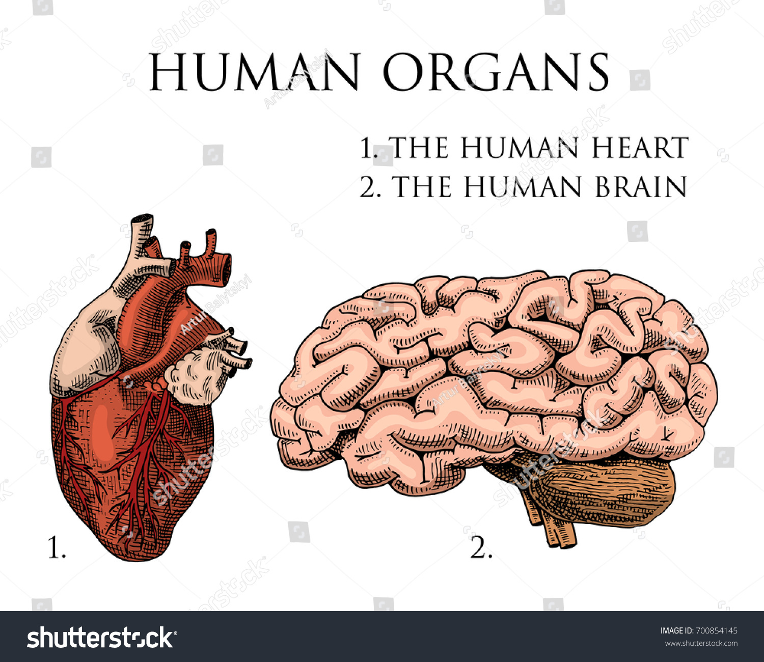 Human Biology Organs Anatomy Illustration Engraved Stock Vector ...