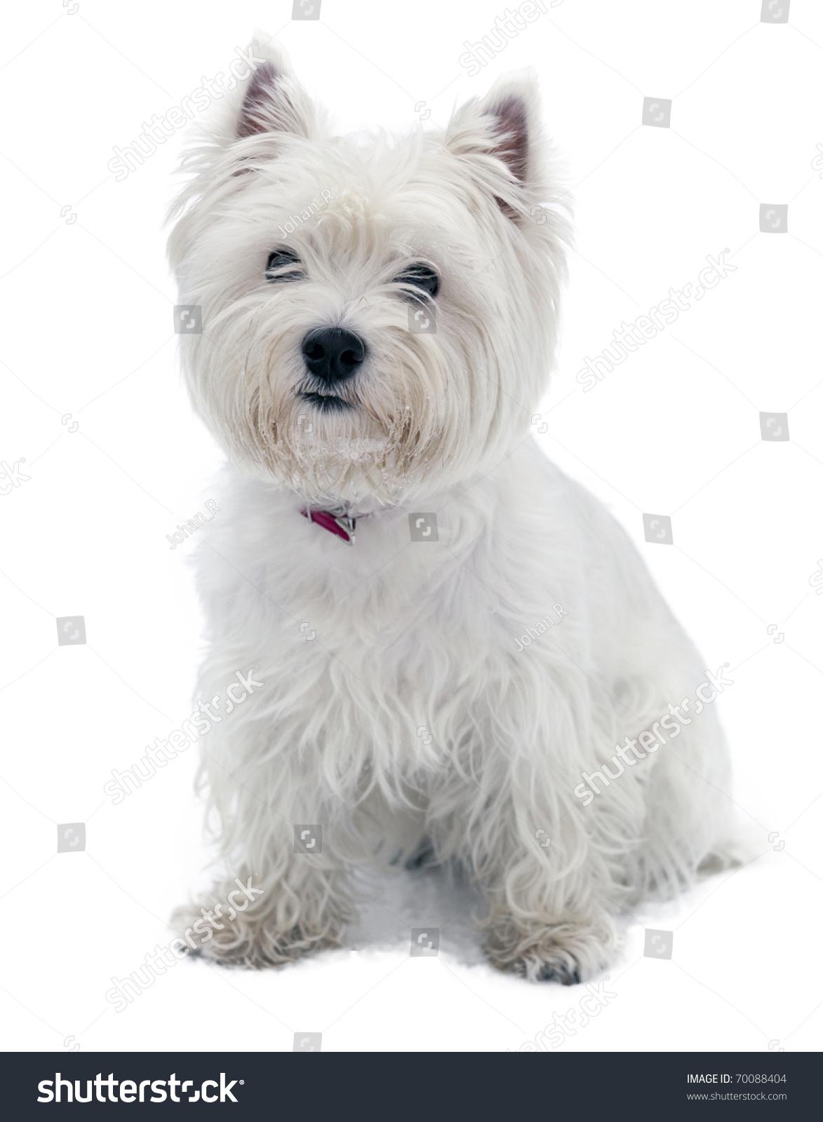 West Highland White Terrier Stock Photo 70088404 - Shutterstock