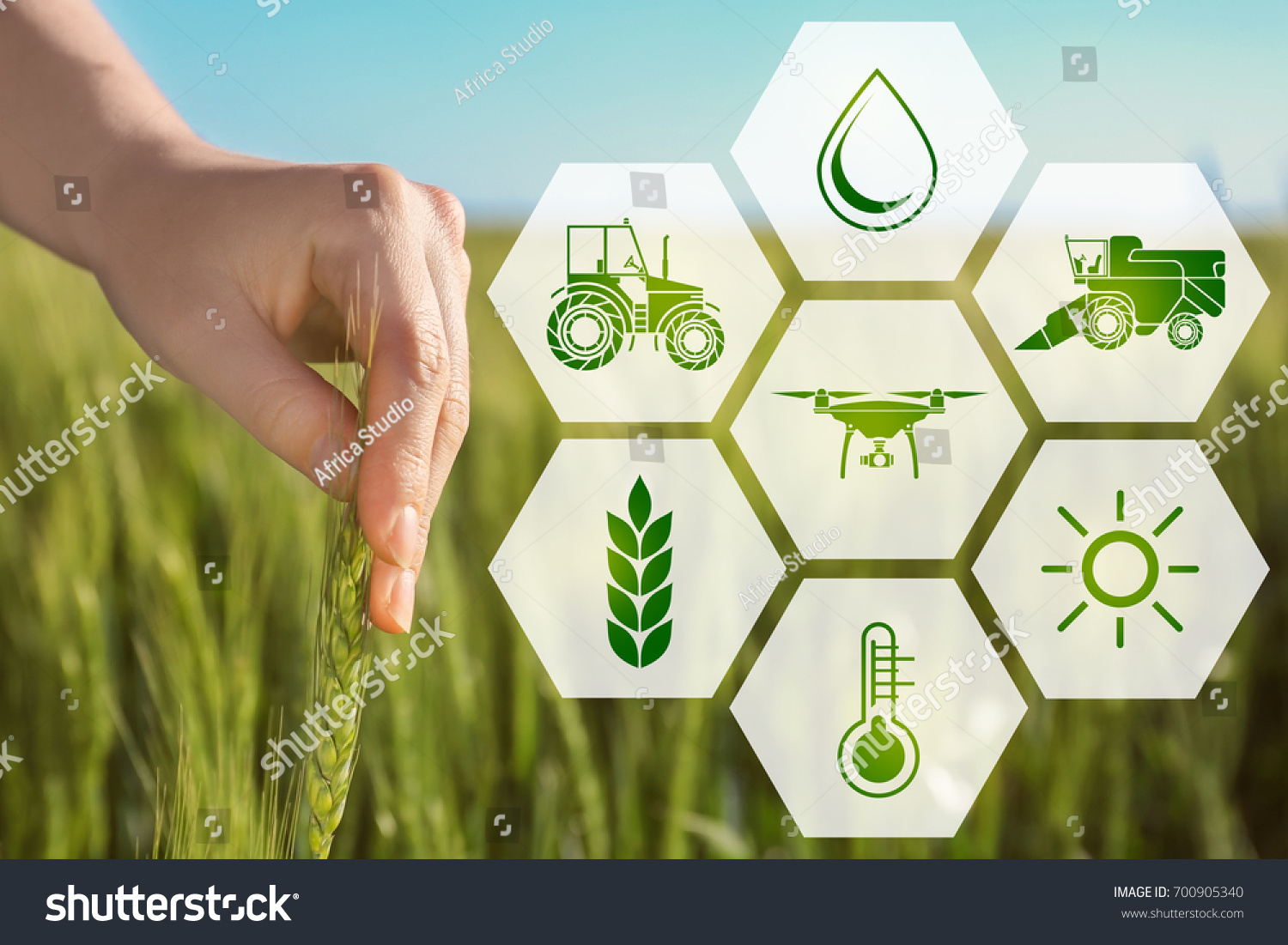 Woman touching wheat spikelet in field, closeup. Concept of smart agriculture and modern technology #700905340