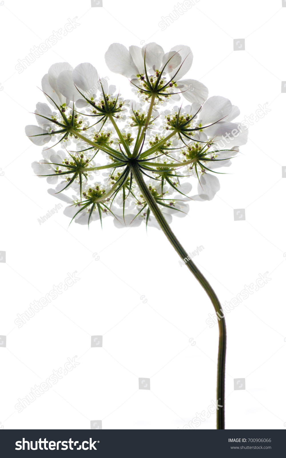 Tender White Flower Small Petals Long Stock Photo Edit Now
