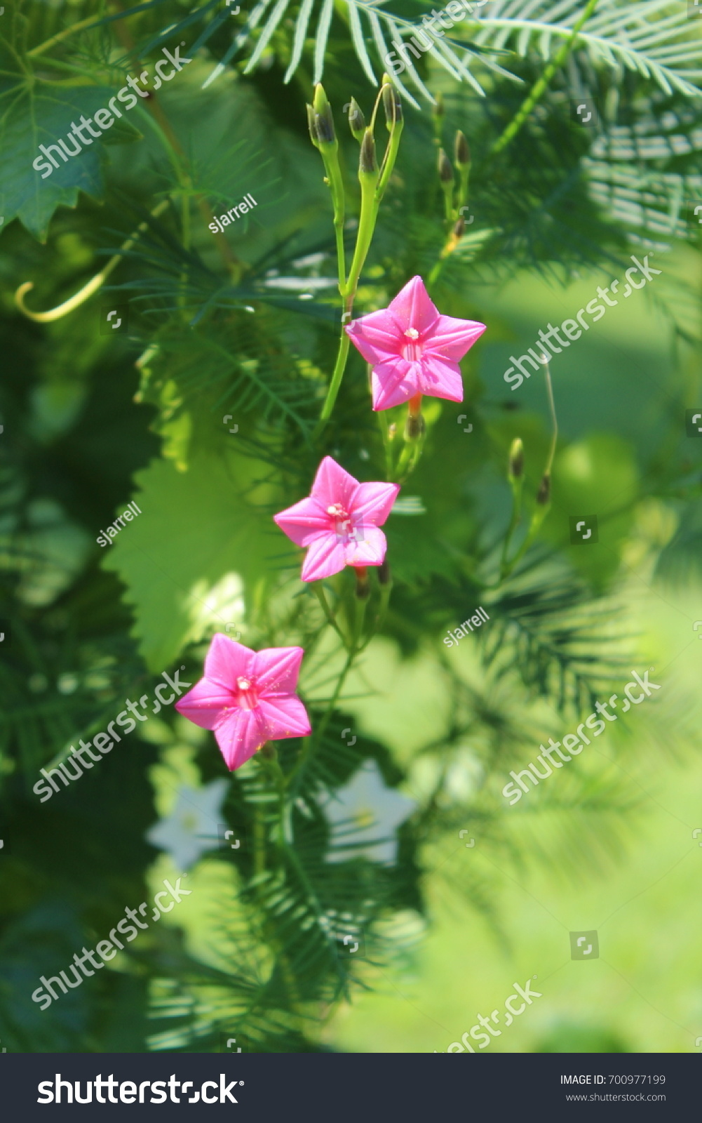 Delicate Climbing Pink Flower Garden Vines Stock Photo Edit Now