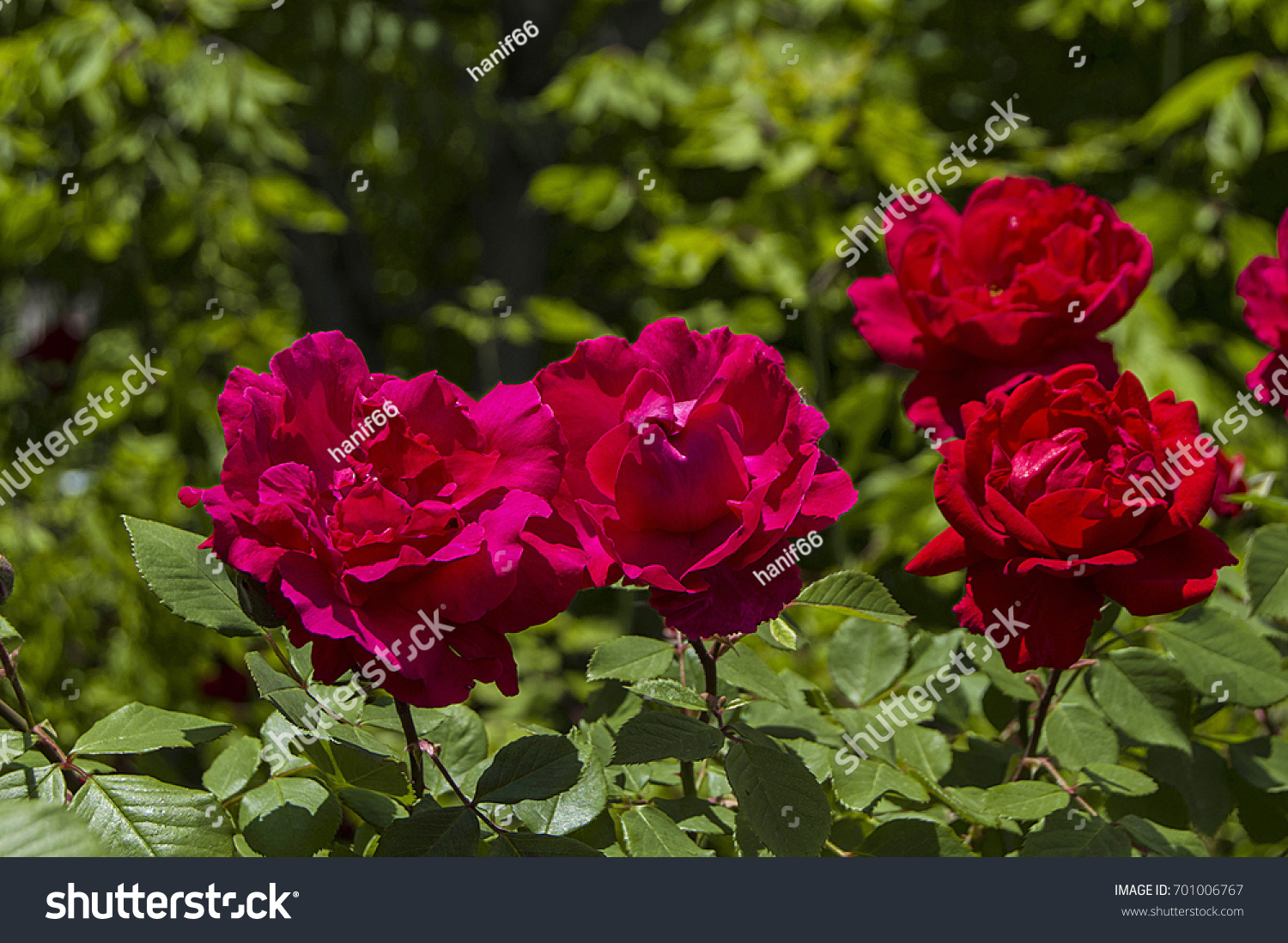 Red Rose Tree Most Beautiful Roses Stock Photo Edit Now 701006767