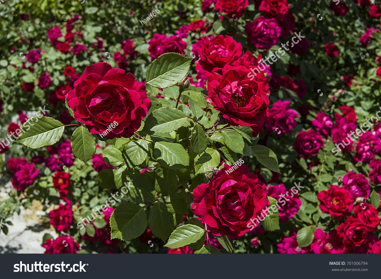 Red Rose Tree Most Beautiful Roses Stock Photo Edit Now 701006794