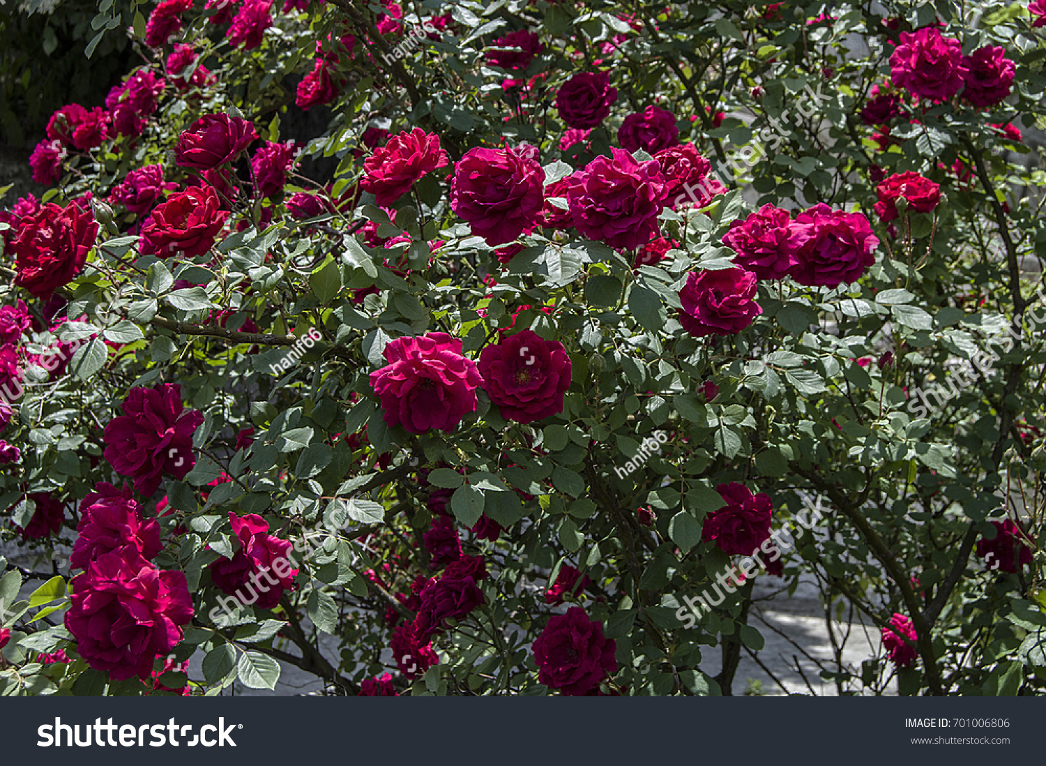 Red Rose Tree Most Beautiful Roses Stock Photo Edit Now 701006806