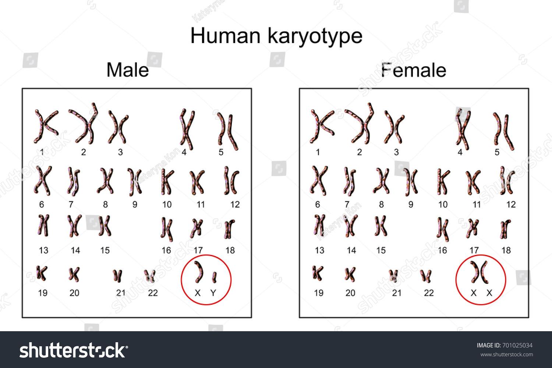 Human Chromosomes Male Female Karyotype 3 D Stock Illustration