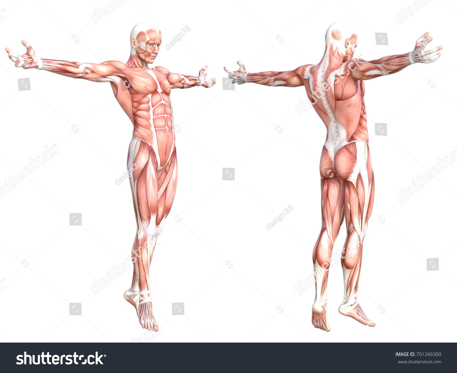 Conceptual Anatomy Healthy Skinless Human Body Stock Illustration ...