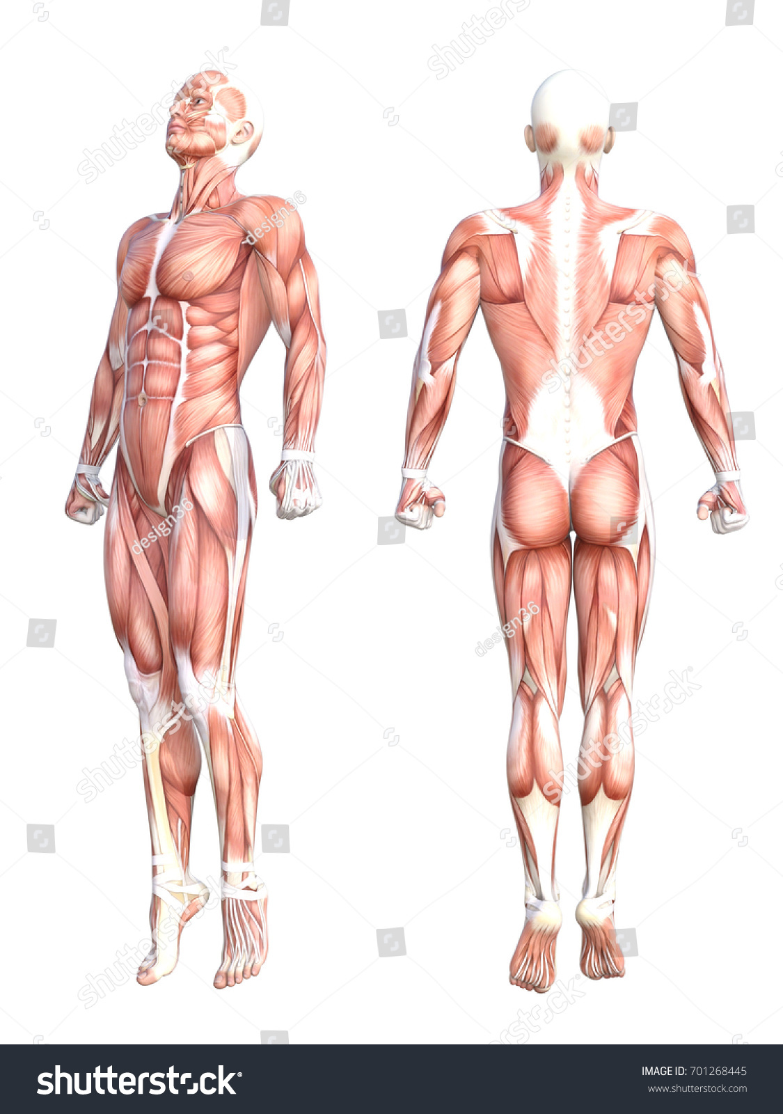 Conceptual Anatomy Healthy Skinless Human Body Stock Illustration