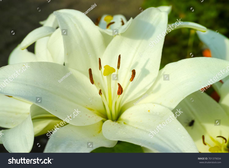 White lily garden beautiful flower symbol stock photo edit now white lily in the garden beautiful flower symbol of sadness izmirmasajfo