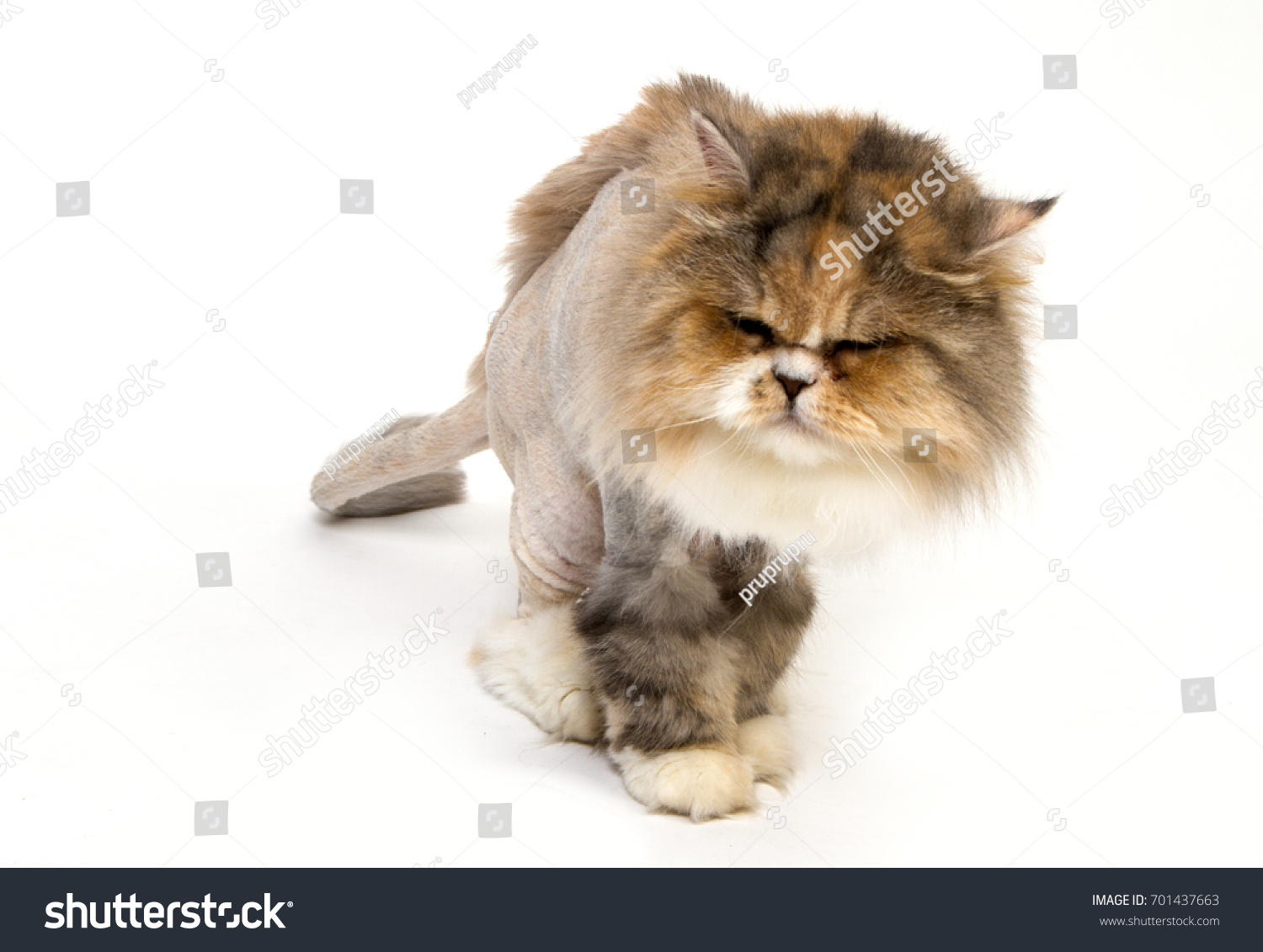 Cat Haircut Lion White Background Stock Photo Edit Now 701437663