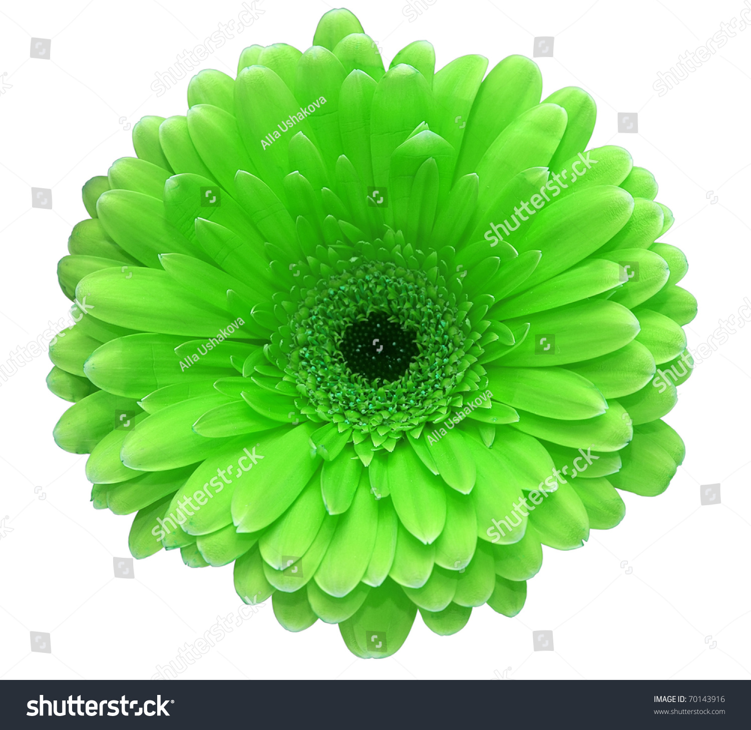 Green Gerbera Flower Isolated White Stock Shutterstock