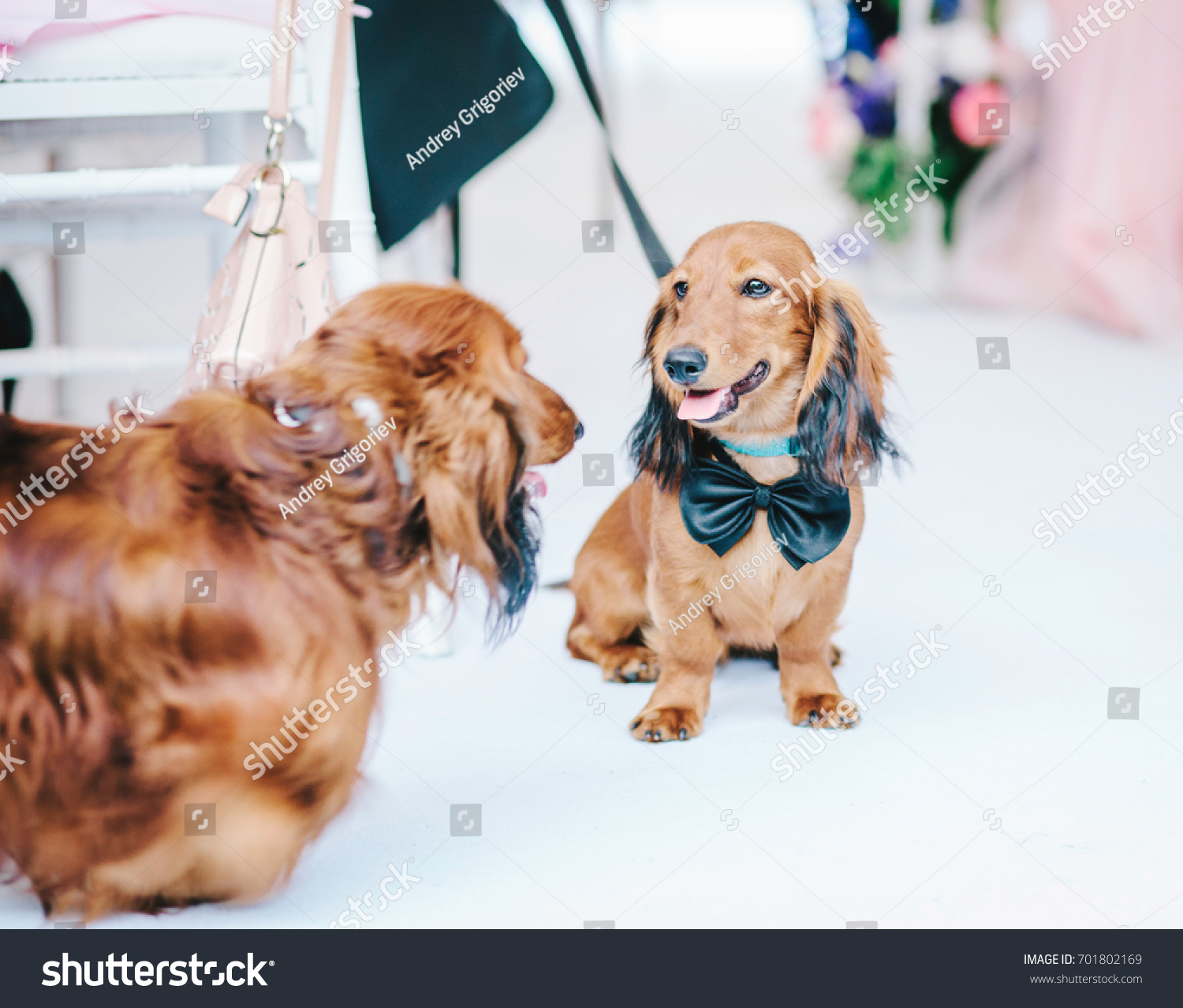 Two Dogs Suit Wedding Concept Wedding Stock Photo 701802169 ...