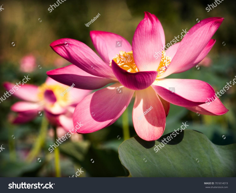 Lotus soil flowerclose up ez canvas mightylinksfo