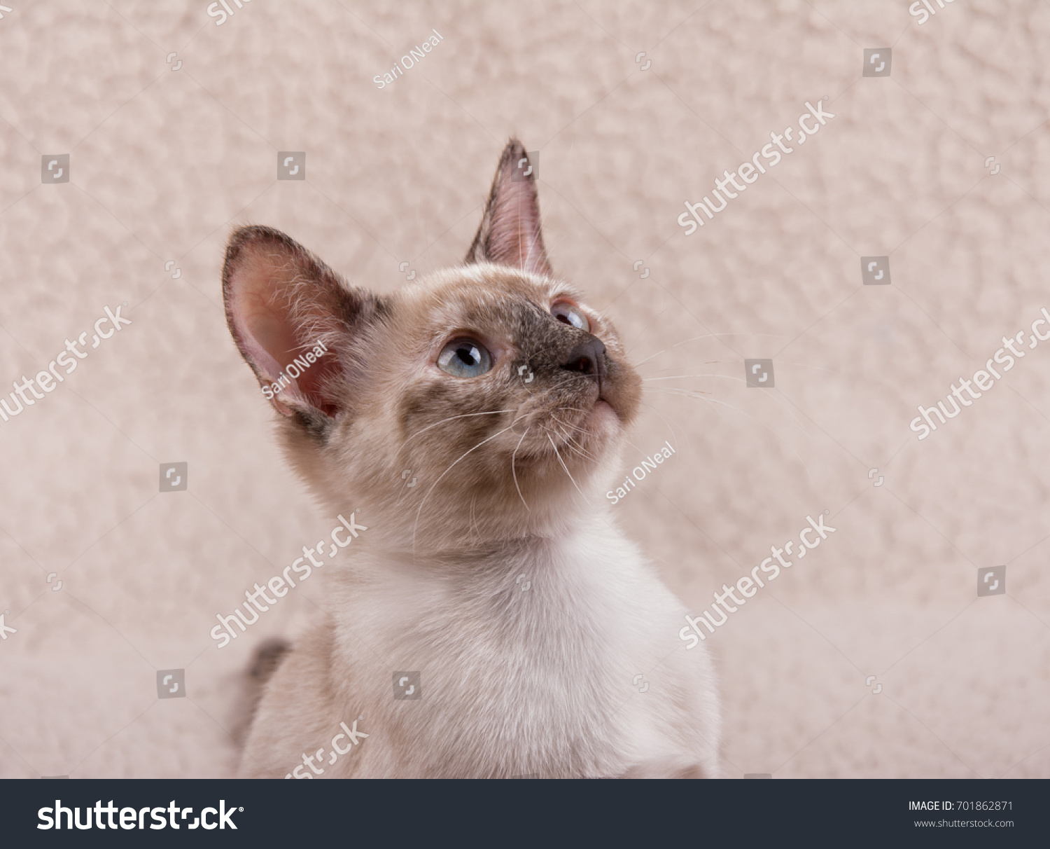 stock-photo-adorable-tortie-point-siames