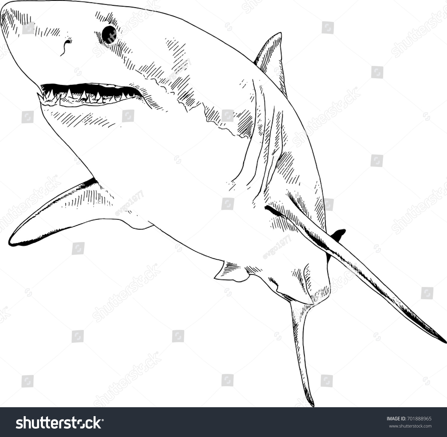 attacking great white shark snarling mouth stock vector 701888965