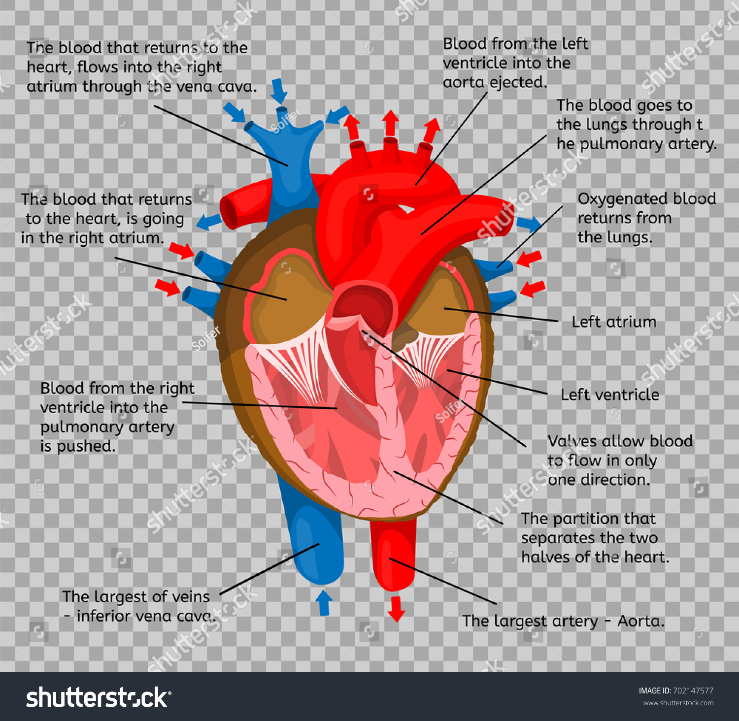 Heart Body Terms Animation Structure Isolated Stock Vector 702147577 ...