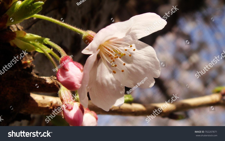 Beautiful Sakura Cherry Flower Japanese Garden Stock Photo Royalty