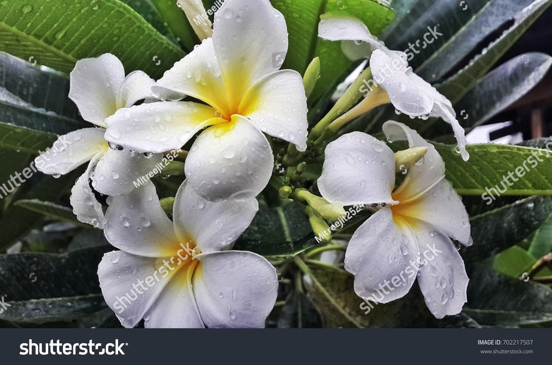 Frangipani Plumeria Pagoda Tree With Beautiful Flowers Ez Canvas