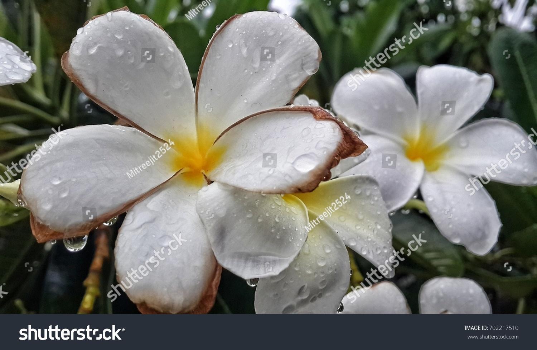 Plumeria Flowers White Flowers Middle Flower Stock Photo Edit Now