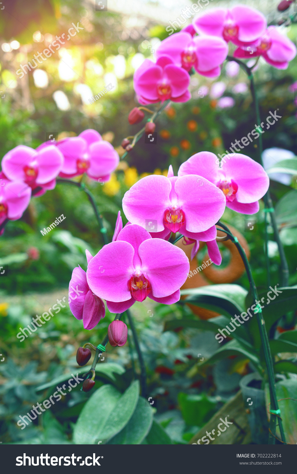 Beautiful orchid flowers growing garden stock photo 702222814 beautiful orchid flowers growing in the garden izmirmasajfo
