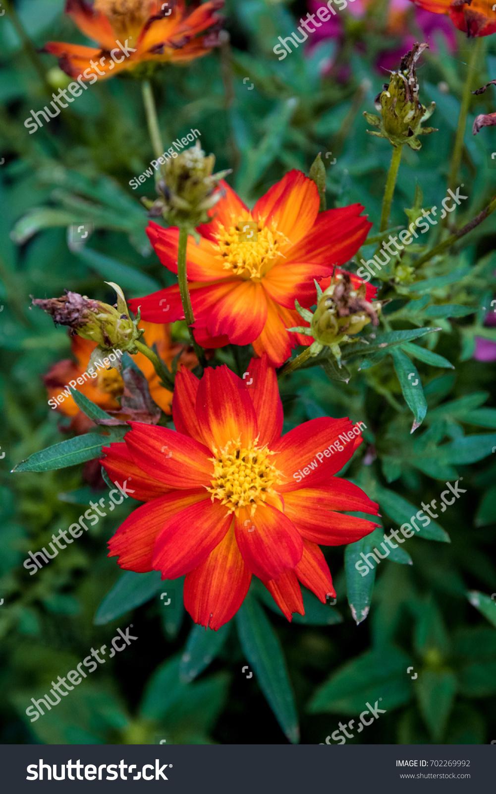 Marigolds Tagetes Flowers Yellow Or Orange Garden Flowerbed