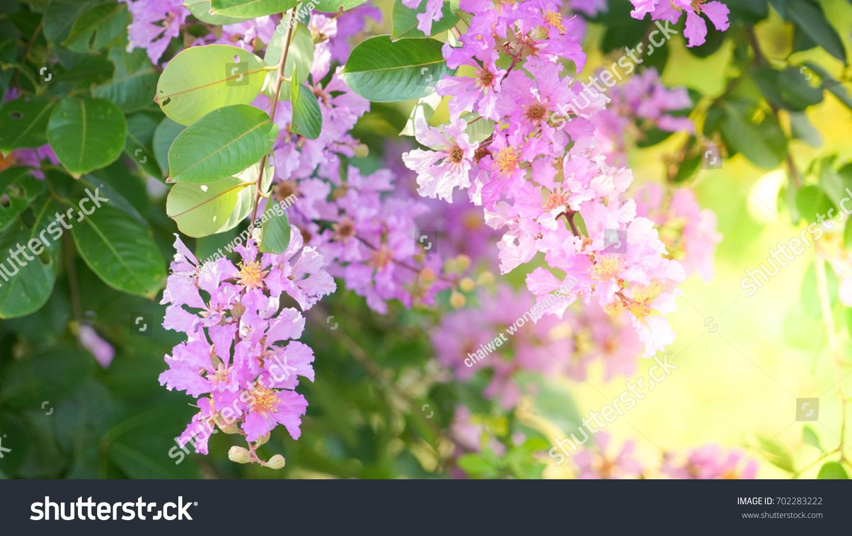 Lagerstroemia Speciosa Violet Color Queens Crape Stock Photo ...