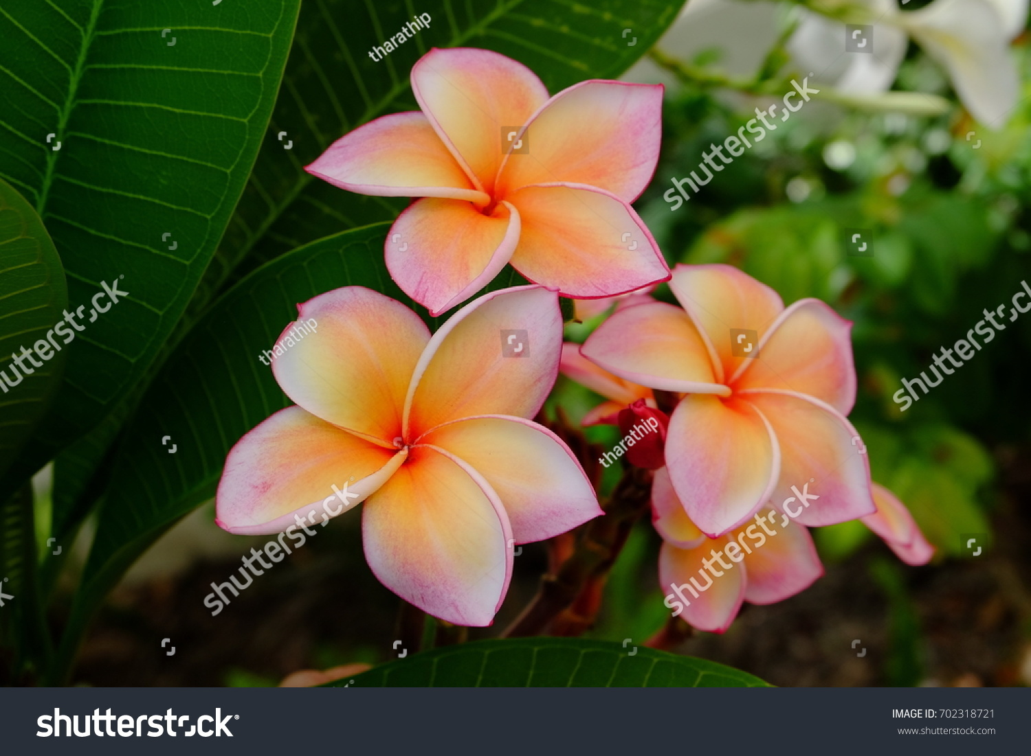 Beautiful Pink Orange Flowers Green Leaf Stock Photo Edit Now