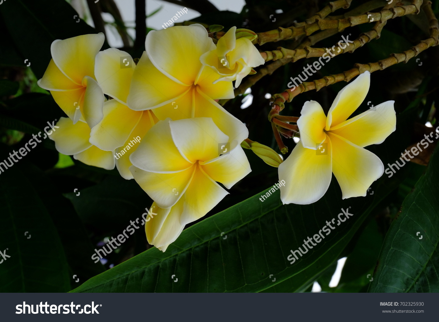 Beautiful Yellow Flowers With Green Leaf Bushautiful White And