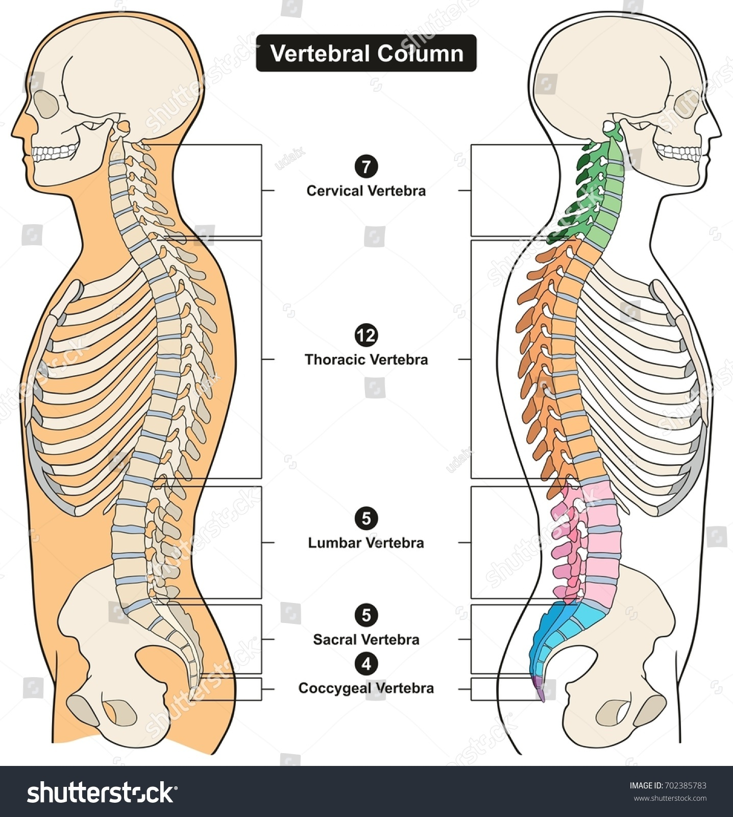 Vertebral Column Human Body Anatomy Infograpic Stock Vector Royalty