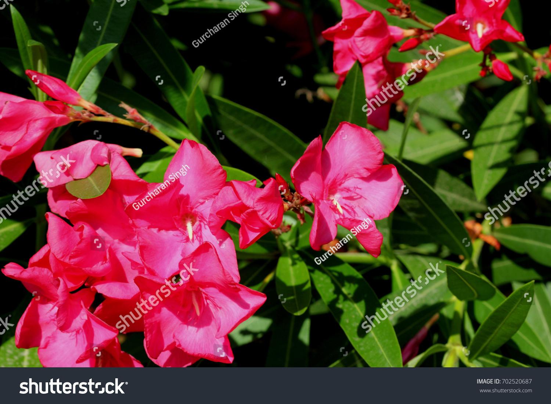 Nerium Oleander Oleander Evergreen Shrub Tree Stock Photo Edit Now